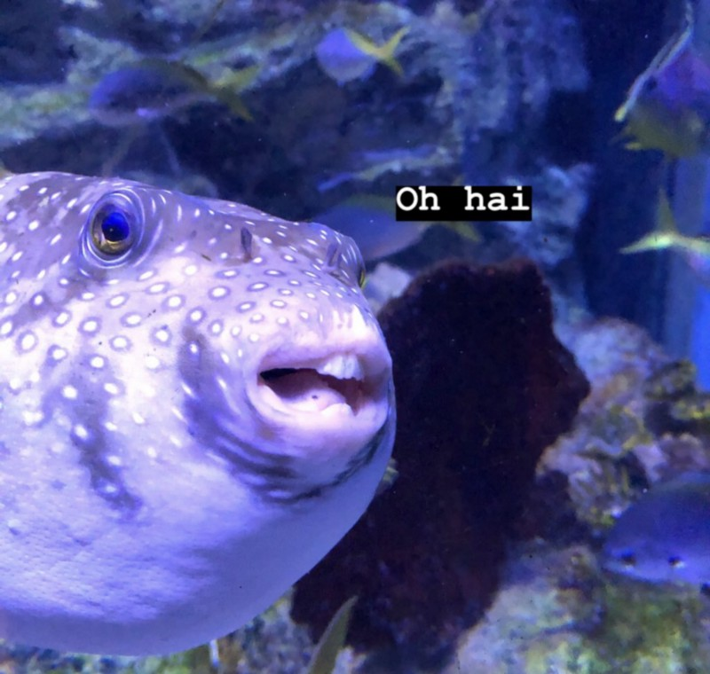 "A goofy puffer fish with the caption ""Oh hai"""